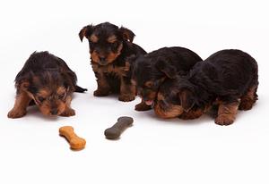 Cookies Club d'éducation canine de SOURZAC (24) Dordogne